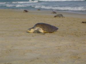 En México anidan seis de las siete especies de tortuga marina