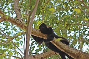 Mono saraguato
