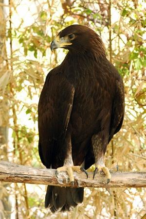 Aguila Vida Silvestre