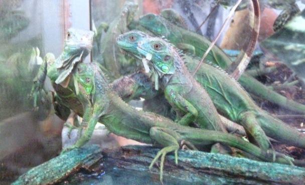 Aseguró la Profepa 41 ejemplares exóticos de fauna silvestre en
